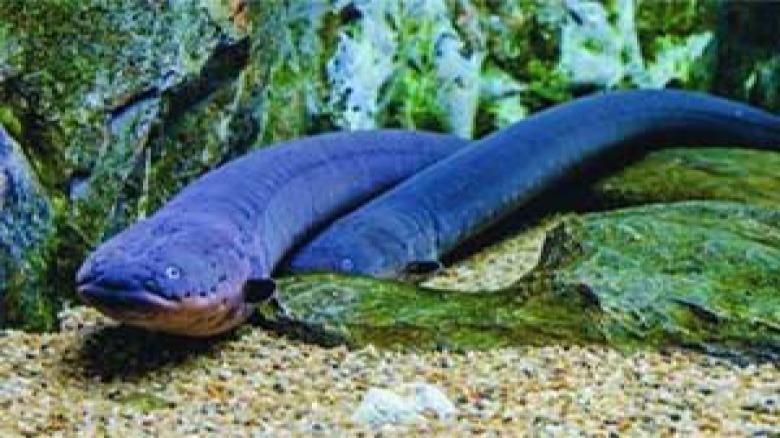 تولید الکتریسیته توسط مار ماهی